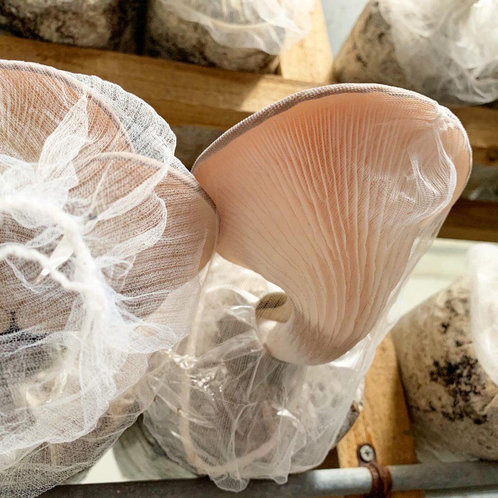 ERID1067 1024x1024 - 足太あわび茸がたくさん採れています!